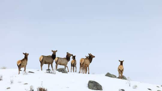A Small Herd Of Elk Crests A Snowy Ridgeline While Migrating In The Northern Range Of Yellowstone National Park