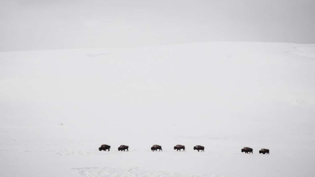 A Herd Of Bison Make Their Way Across A Snowy Landscape In The Middle Of Winter In Yellowstone National Park