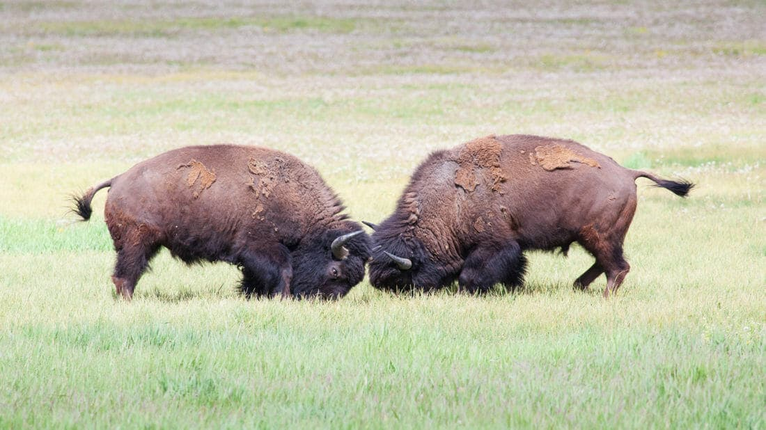 Two Bison Lock Horns While They Fight For Rank Within The Herd In Yellowstone National Park