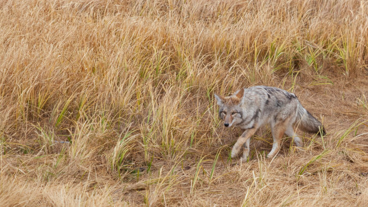 A Coyote Stalks Its Prey Through Tall Grasses In Yellowstone National Park