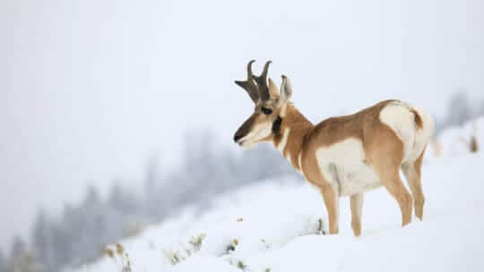 A Pronghorn Perches On A Snowy Hillside In Yellowstone National Park