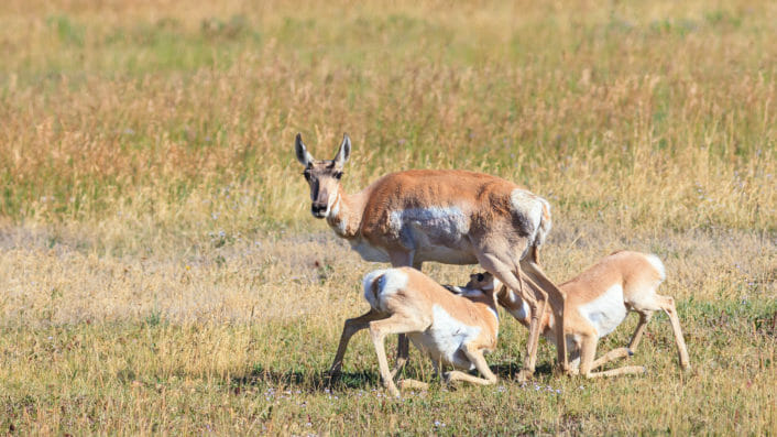 A Mother Pronghorn Stays On Alert While Her Young Feed In An Open Field In Yellowstone National Park