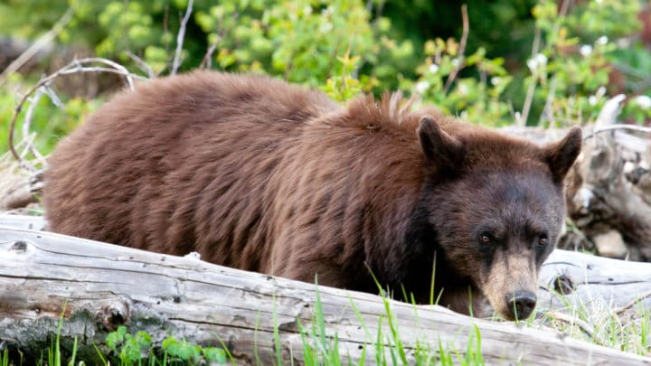 A Black Bear Looks In the Direction Of The Photographer In The Greater Yellowstone Ecosystem