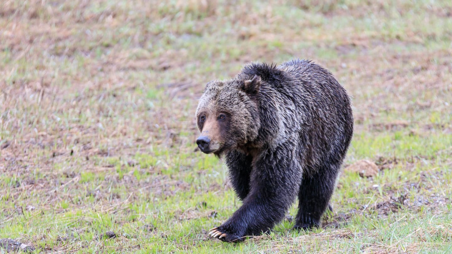 A Grizzly Bear Walks Through A Meadow In Yellowstone National Park