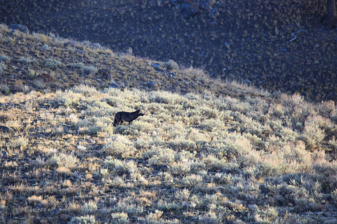 A Grey Wolf Stands On A Hill Of Sagebrush While Surveying The Lamar Valley In Yellowstone National Park