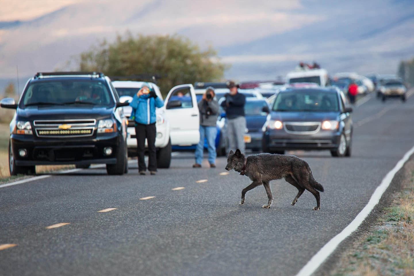 A Black Colored Grey Wolf Crosses the Road While Onlookers Take Photos in Lamar Valley