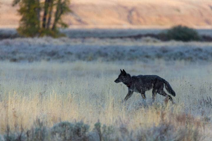 A Black Colored Grey Wolf Traverses The Lamar Valley In Yellowstone National Park