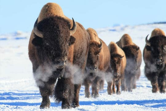 A Small Herd Of Bison Walk Through The Snow As They Migrate Through Yellowstone National Park In The Winter