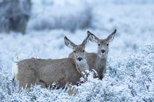 Two Mule Deer Browse For Food In The Snow Covered Sage Flats In The Greater Yellowstone Ecosystem