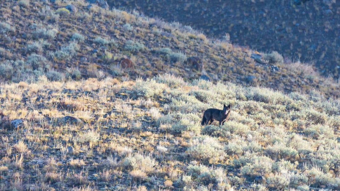 A Grey Wolf Looks Out Over The Lamar Valley In Yellowstone National Park