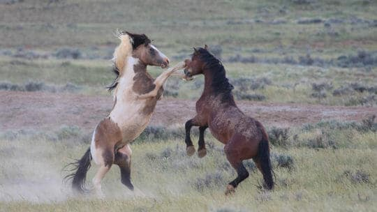 Two Wild Mustangs Spar In The McCullough Peaks Herd Management Area Outside Of Cody Wyoming