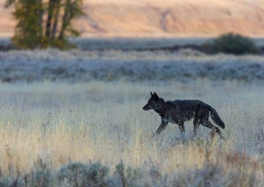 A Grey Wolf Traverses The Flats In Lamar Valley In The Northern Range Of Yellowstone National Park