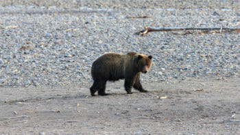 A Grizzly Bear Walks Along The Lamar River In The Lamar Valley Of Yellowstone National Park