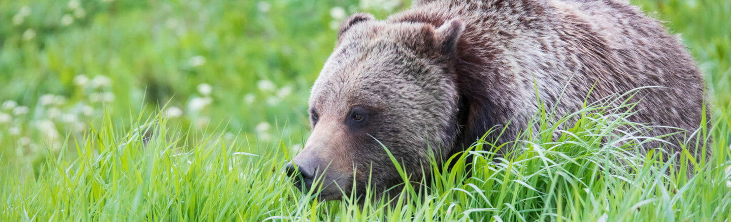 A Grizzly Bear Grazes On A Meadow Of Grasses In The Greater Yellowstone Ecosystem