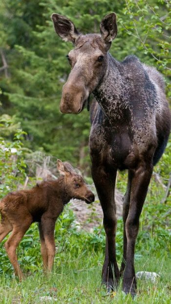 A Cow Moose Stands In The Forest With Her Young Calf In The Greater Yellowstone Ecosystem