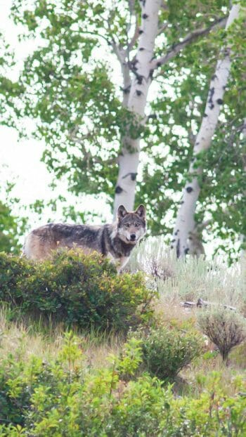 A Grey Wolf Stands In Sagebrush In The Greater Yellowstone Ecosystem