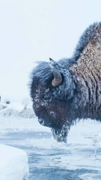A Frost Covered Bison Stands At The River's Edge In The Lamar Valley Of Yellowstone National Park