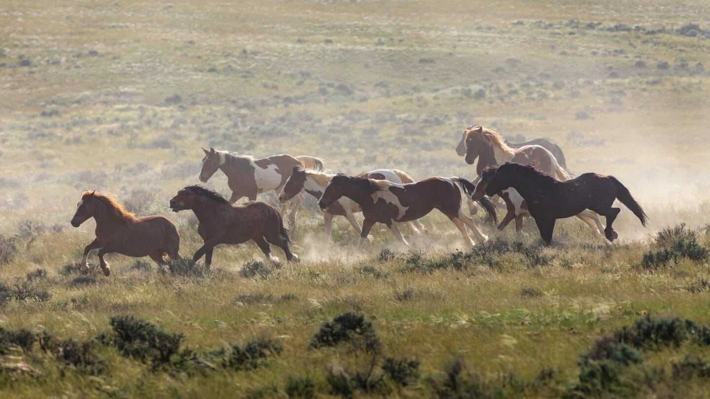 A Herd Of Wild Horses Kicks Up Dust As They Cross The High Desert Of The McCullough Peaks Wildlife Management Area