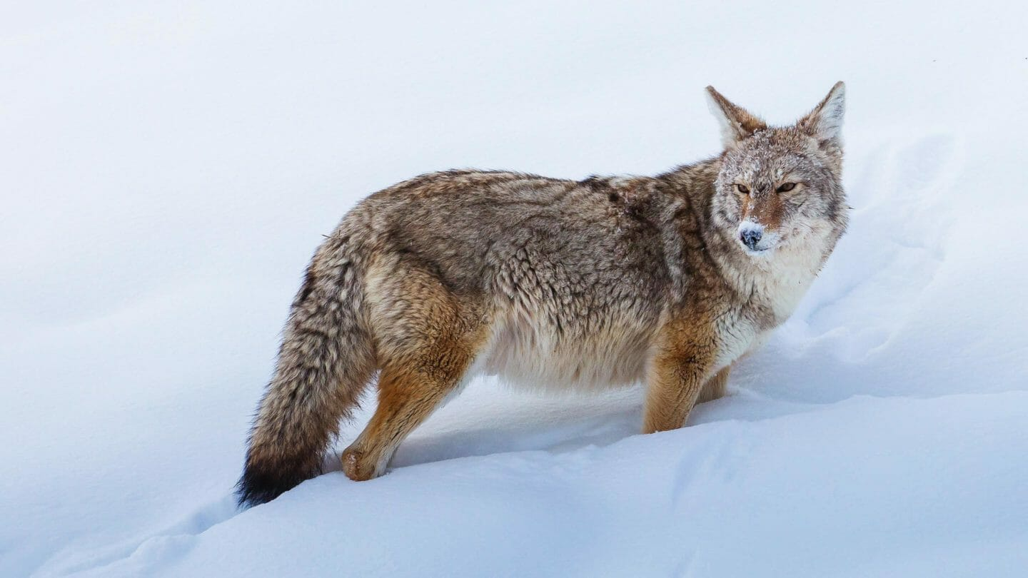A Coyote's Face Is Covered With Snow While Sniffing Out Rodents In Yellowstone National Park
