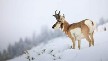 A Pronghorn Buck Looks Out Over A Snow Covered Field In The Greater Yellowstone Ecosystem