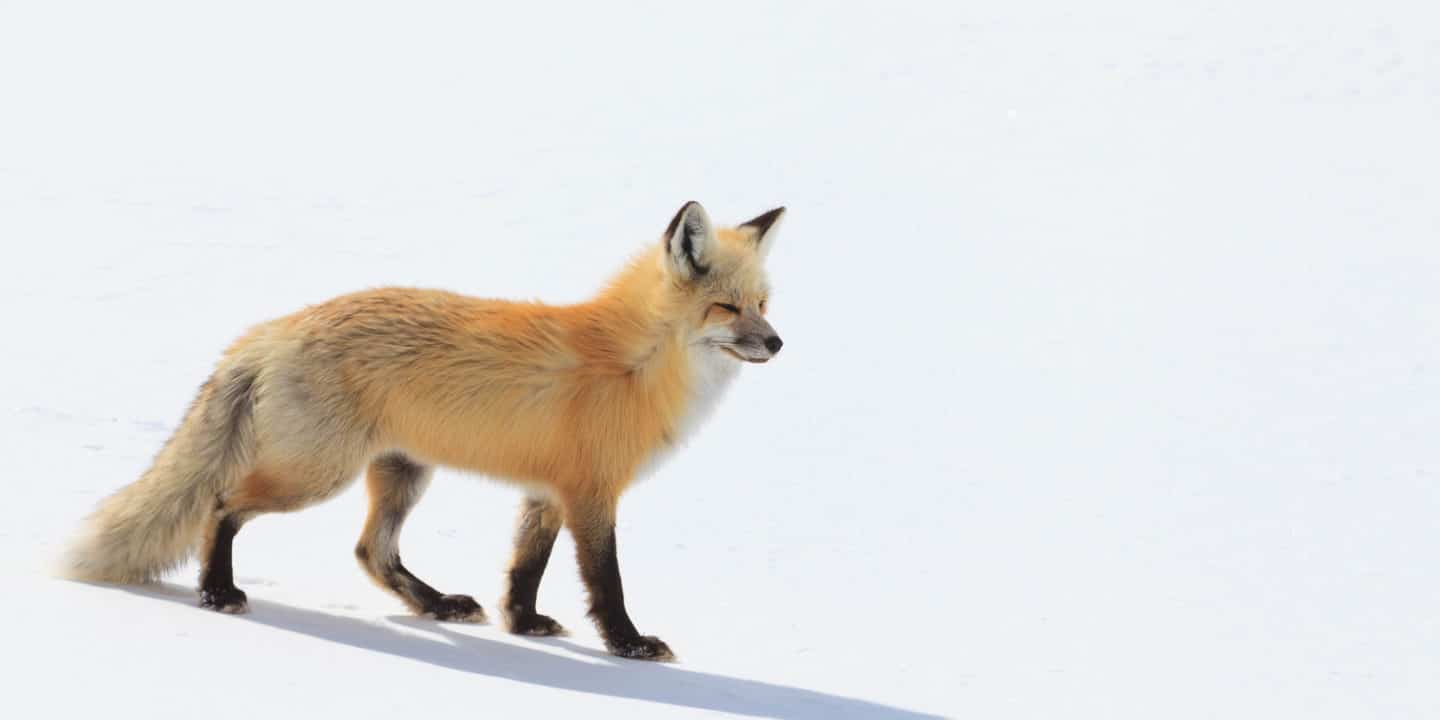 A Red Fox Hunts For Prey In The Snowy Landscape Of The Hayden Valley In Yellowstone National Park