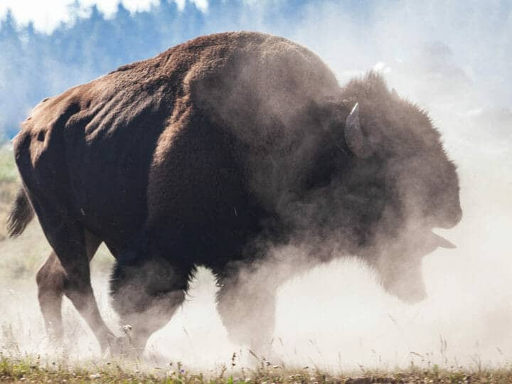 A Bull Bison In Rut Kicks Up A Dust Cloud In Yellowstone National Park