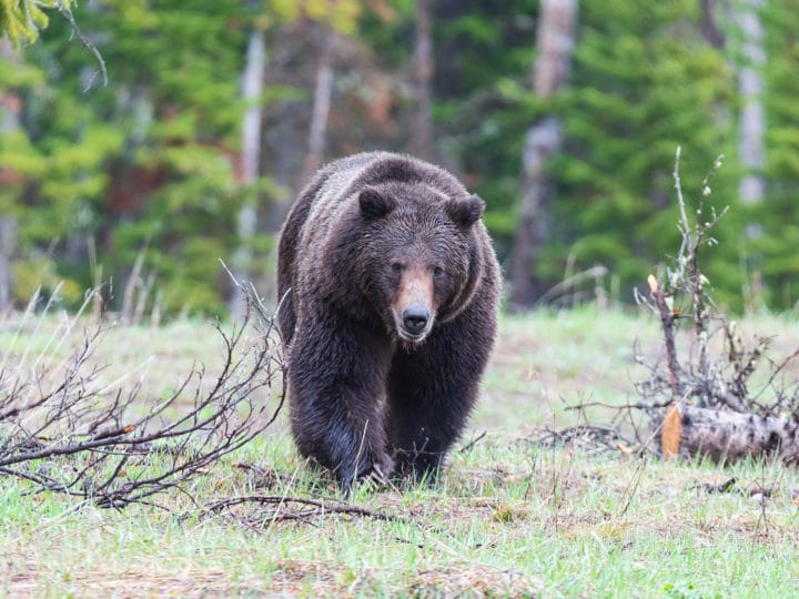A Large Grizzly Bear Walks In A Clearing In The Greater Yellowstone Ecosystem