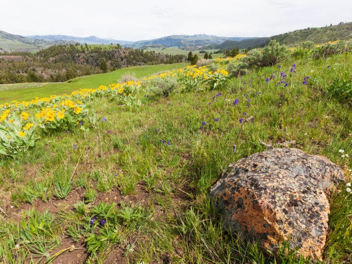 Yellow Arrowleaf Balsamroot Wildflowers Cover A Hillside During Springtime In Yellowstone