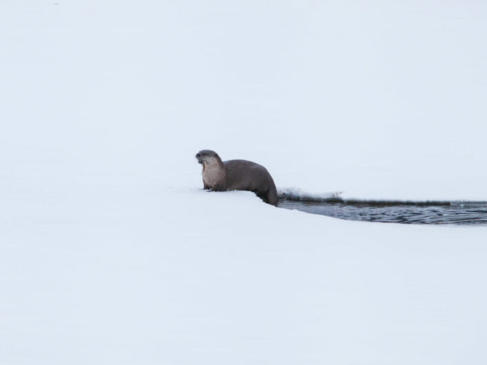 A River Otter Climbs Out Onto The Snow After A Successful Fishing Expedition In The Greater Yellowstone Ecosystem