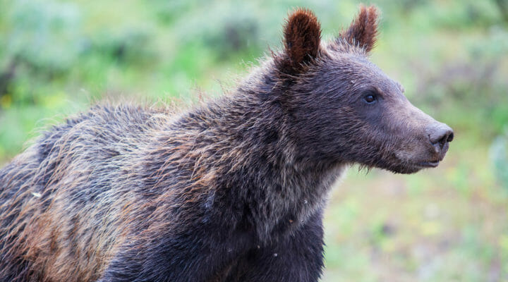 Close Up Shot Of A Grizzly Bear In the Greater Yellowstone Ecosystem