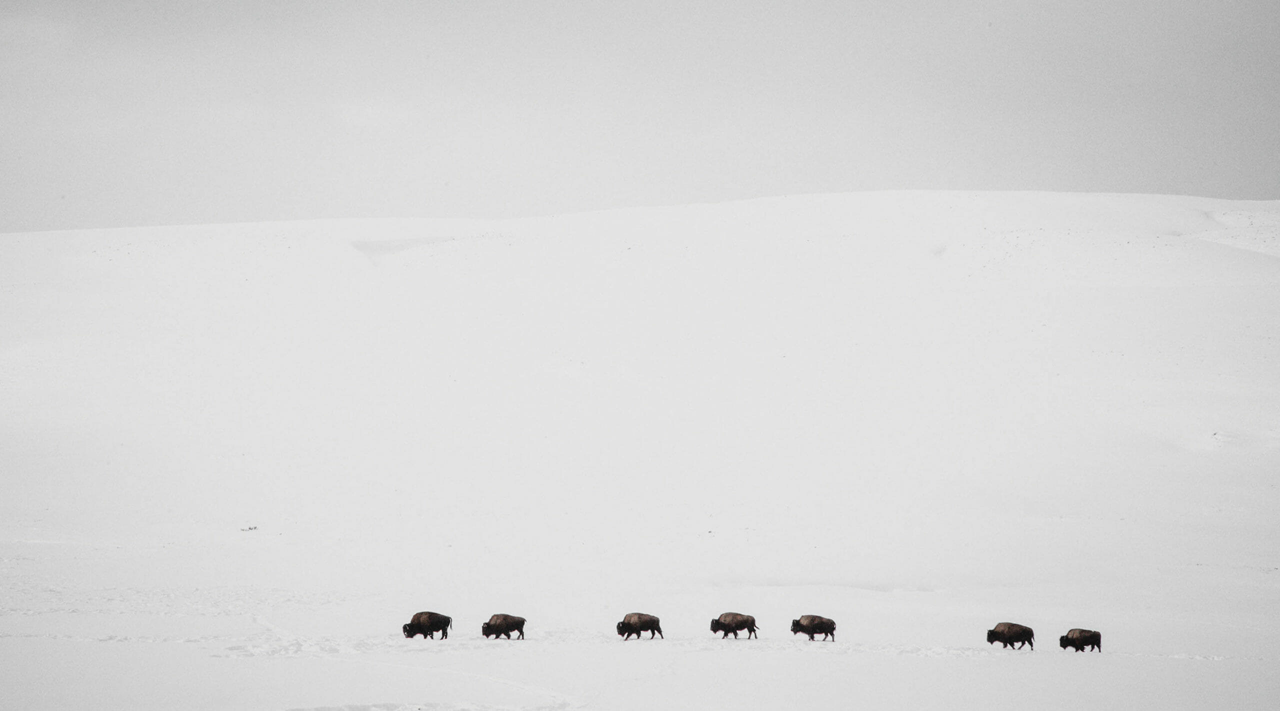 A Herd Of Bison Travel Across A Vast Snowy Landscape In Hayden Valley In Yellowstone National Park