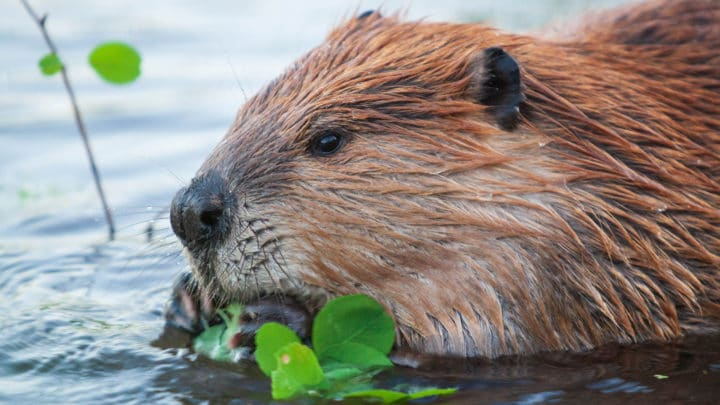 An American Beaver Feeds On Green Vegetation In The Water In The Greater Yellowstone Ecosystem
