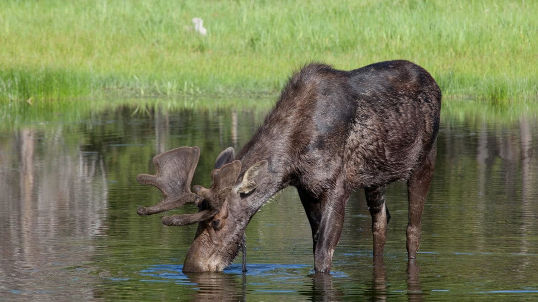 A Moose Forages For Aquatic Vegetation In Wetlands Near Yellowstone National Park