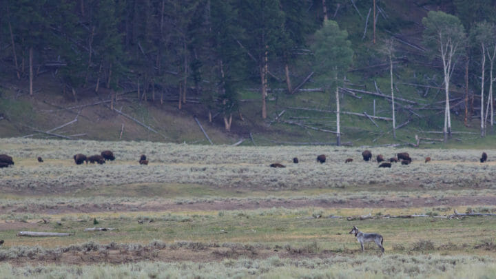 A Grey Wolf Watches A Herd Of Bison Across The Flats In The Lamar Valley Of Yellowstone National Park