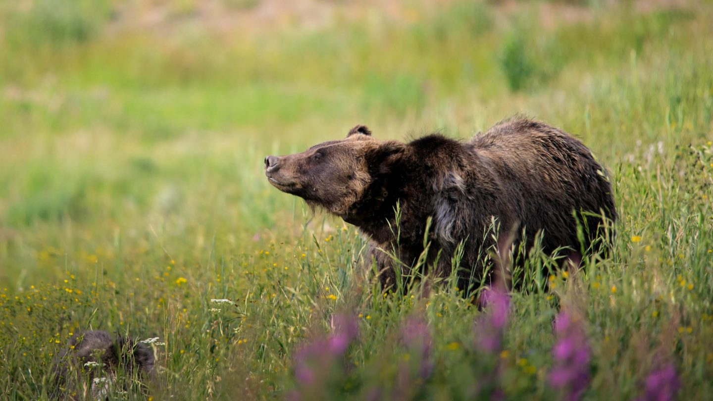 A Grizzly Bear Raises Its Head To Sniff The Air While Crossing An Open Field In The National Park