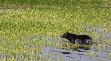 A Grizzly Bear Wades Into The Wetlands Along The Yellowstone River In Yellowstone National Park