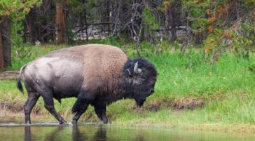A Bull Bison Walks Along The Yellowstone River In Hayden Valley In Yellowstone National Park