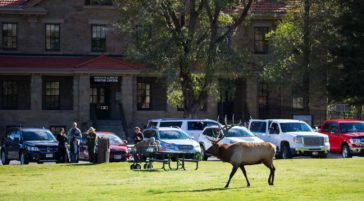 A Bull Elk Crosses The Lawn At The Mammoth Visitor's Center In Yellowstone National Park