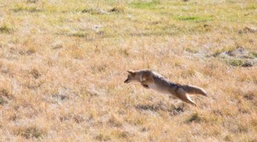 A Coyote Pounces While Hunting Mice And Voles In The Greater Yellowstone Ecosystem