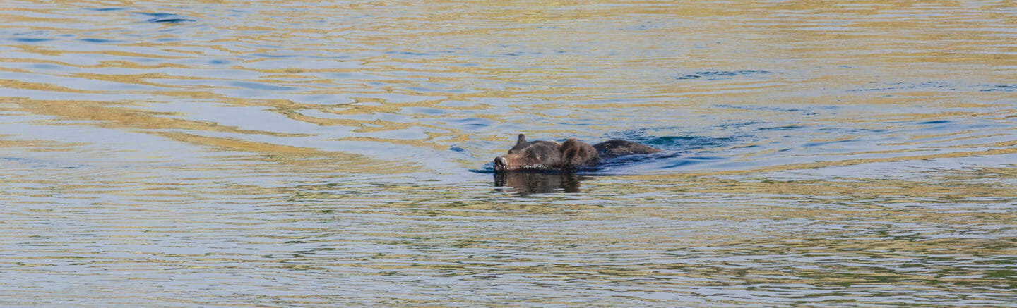 A Grizzly Bear Keeps Its Snout Above Water As It Swims Across The Yellowstone River In The Hayden Valley