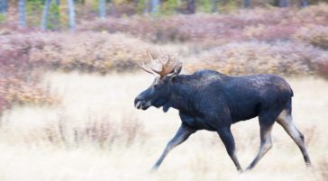 A Bull Moose Runs Through The Flats Of Lamar Valley In Yellowstone National Park
