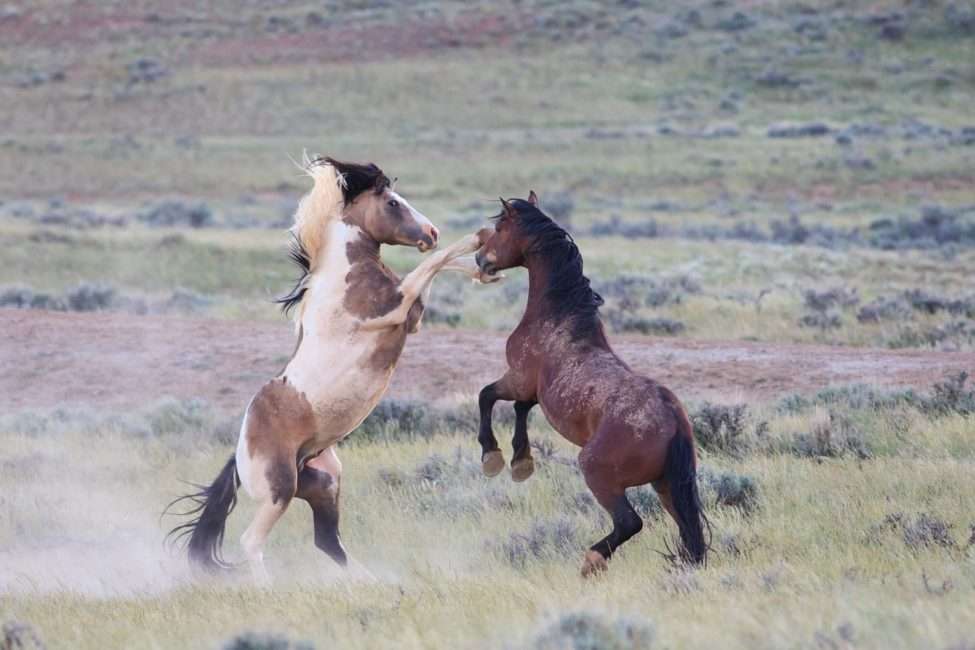 Two Wild Horses Spar With Their Front Hooves Raised In The High Desert East Of Cody Wyoming