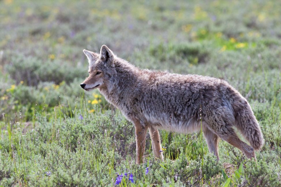 A Coyote Hunts For Prey In A Field Of Wildflowers In The Greater Yellowstone Ecosystem