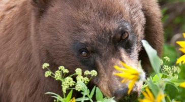 A Black Bear Grazes On Wildflowers In The Greater Yellowstone Region