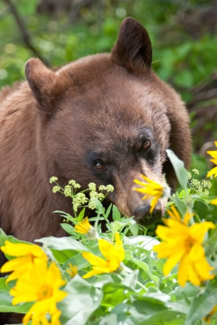 A Black Bear Grazes On Wildflowers In The Greater Yellowstone Region