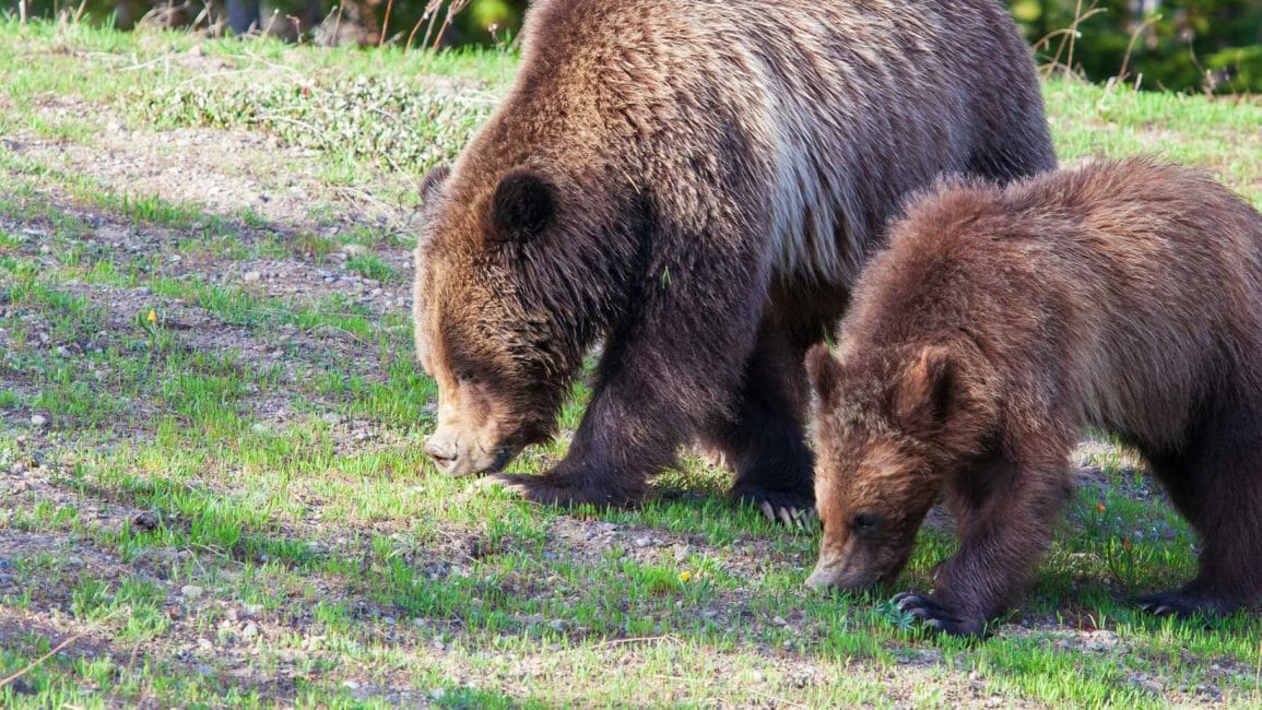 A Mother Grizzly And Her Cub Graze On Summer Grasses In The Greater Yellowstone Ecosystem