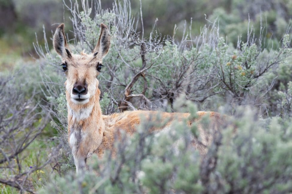 A Pronghorn Stands In Sagebrush And Eyes The Photographer