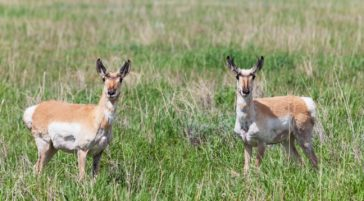 Two Pronghorn Stand Attentively In A Field In The Greater Yellowstone Ecosystem