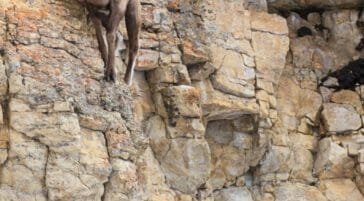A Nimble Bighorn Sheep Ram Perches On A Rock Wall In The Lamar Valley Of Yellowstone National Park