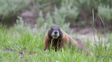 A Marmot Feeds On Grasses In The Greater Yellowstone Ecosystem